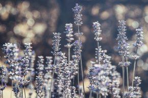 Indahnya Hamparan Bunga Lavender di Prancis
